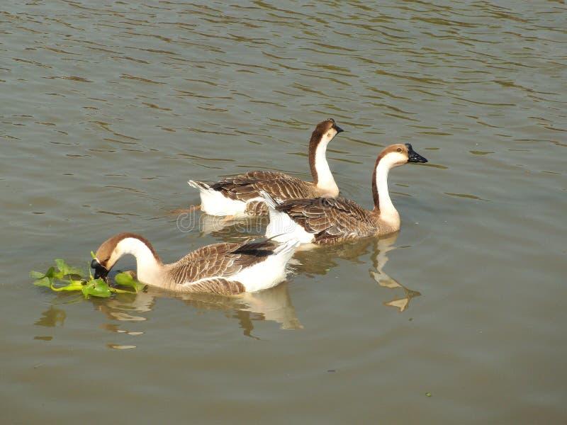 Gansos en el lago imagen de archivo