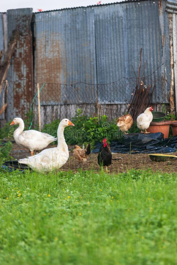 Gansos galo e galinhas da cerca foto de stock royalty free