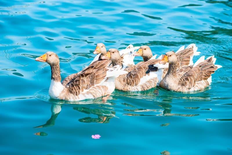 Gansos hermosos de las aves acuáticas imagen de archivo libre de regalías