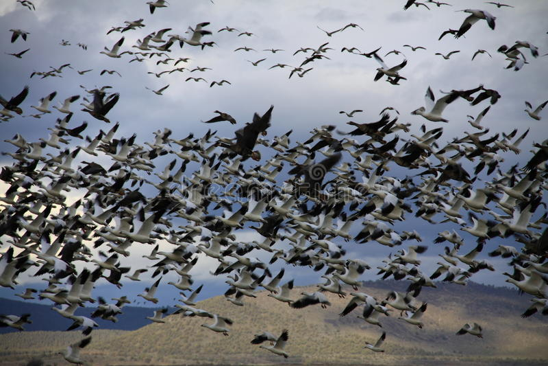 Gansos migratórios em voo fotos de stock