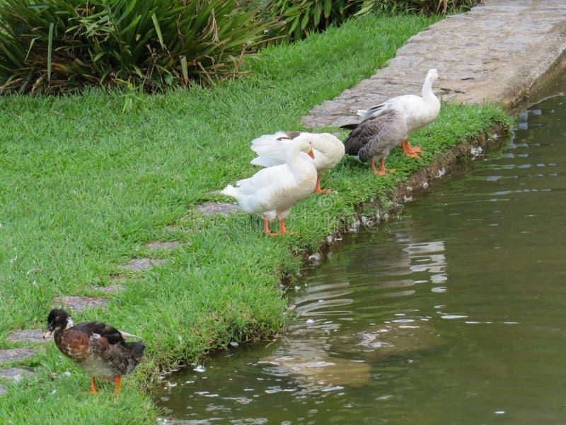 Gansos na grama na beira do lago imagens de stock royalty free