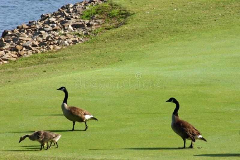 Gansos no campo de golfe imagens de stock royalty free