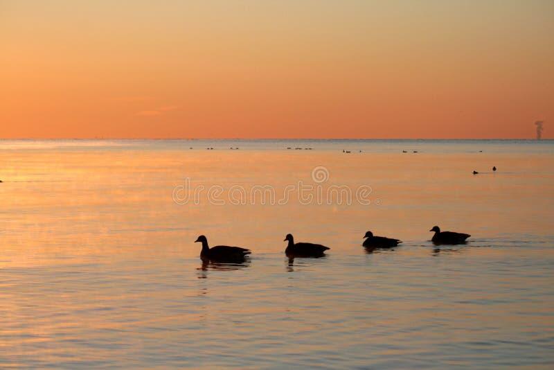 Gansos no nascer do sol foto de stock