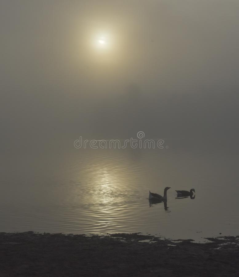 Gansos que nadam no lago do folsom na manhã durante o nascer do sol imagens de stock royalty free