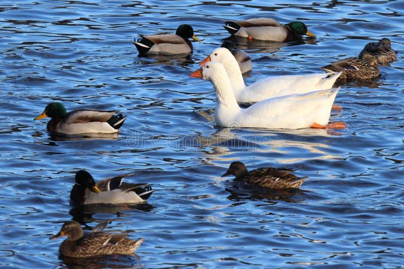 Gansos que nadan con los patos imagenes de archivo