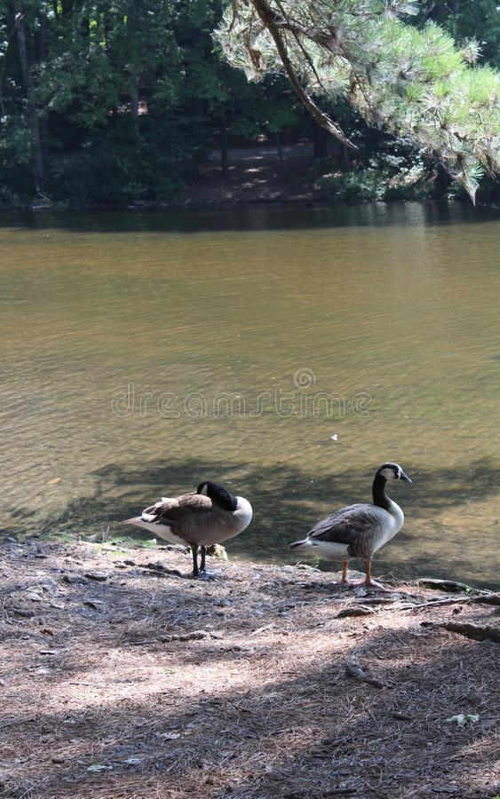 Gansos que se colocan cerca del borde del lago fotos de archivo libres de regalías