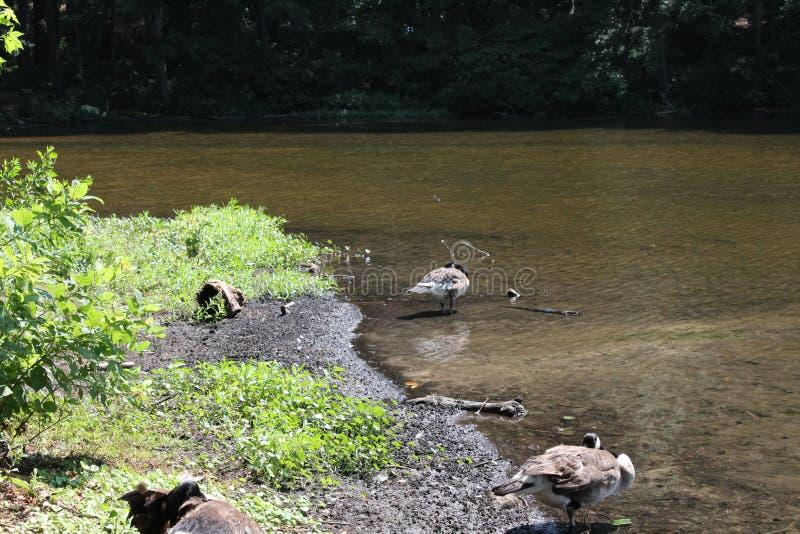 Gansos que se colocan en agua en el lago fotografía de archivo