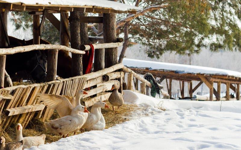 Gansos que se reclinan sobre nieve imagenes de archivo