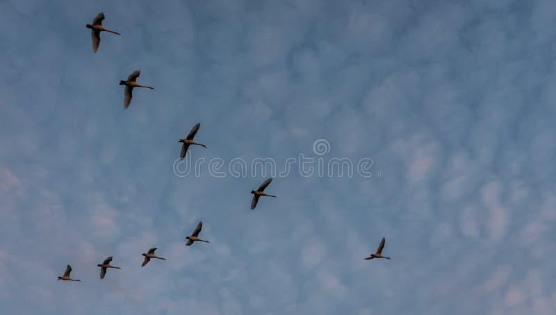 Gansos que vuelan al sur imagenes de archivo