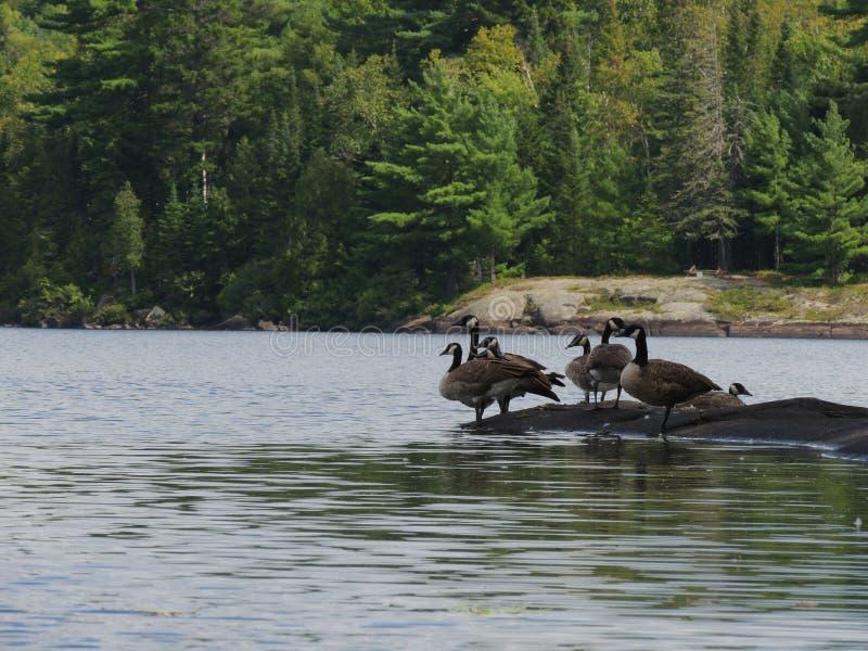 Gansos salvajes de Canadá fotografía de archivo libre de regalías