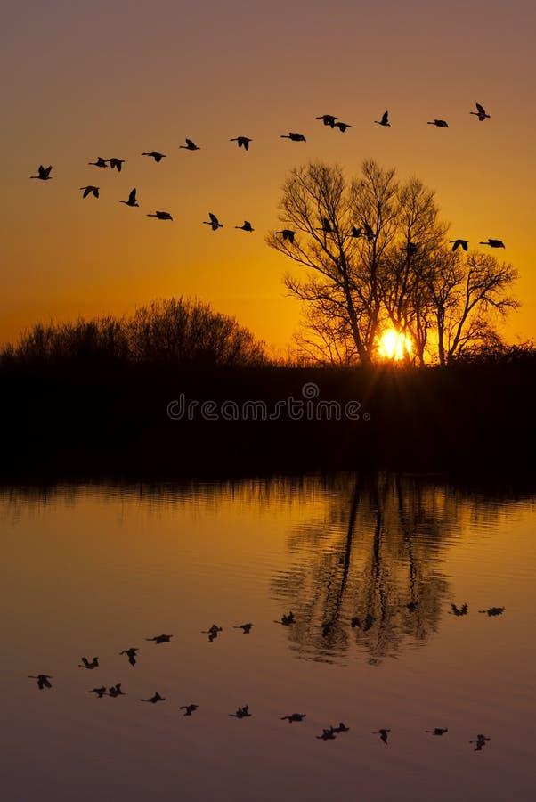 Gansos salvajes en una puesta del sol anaranjada imagen de archivo