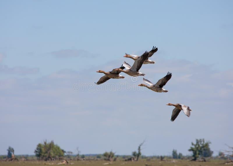 Gansos salvajes que vuelan en la formación fotografía de archivo