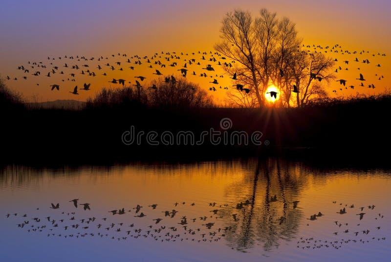 Gansos selvagens em um por do sol alaranjado fotografia de stock