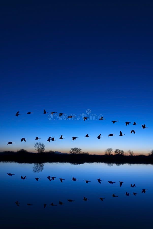 Gansos selvagens em uma noite azul imagens de stock royalty free