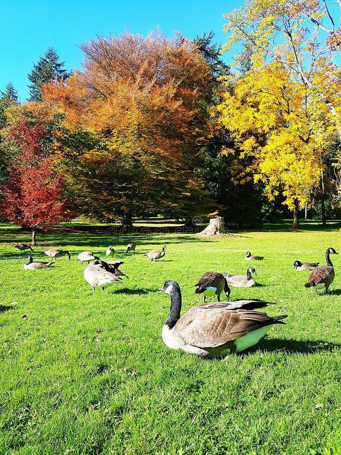 Gansos selvagens na grama verde fotos de stock royalty free