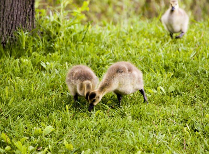 Gansos selvagens no rio de Forest Preserves e de Des Plaines de Illinois EUA foto de stock