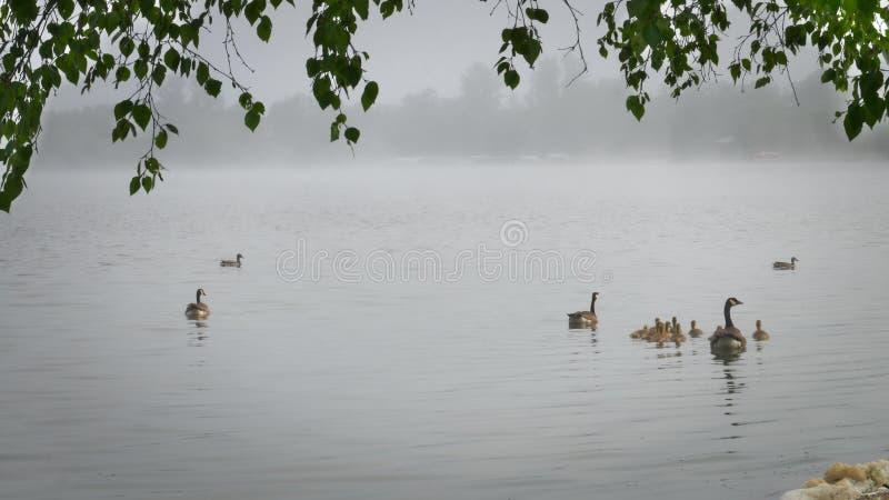 Gansos y patos en el lago de niebla en Bemidji Minnesota imagen de archivo libre de regalías