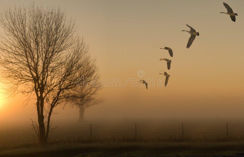 Gansos y puesta del sol de niebla de la salida del sol fotografía de archivo libre de regalías