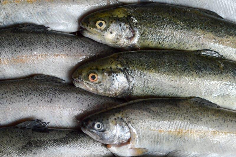 Ganze frische Forellenfische lizenzfreie stockfotos