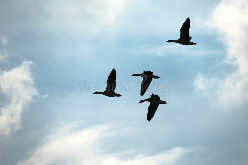 Download Ganzen die omhoog vliegen stock afbeelding. Afbeelding bestaande uit vrij - 107703759
