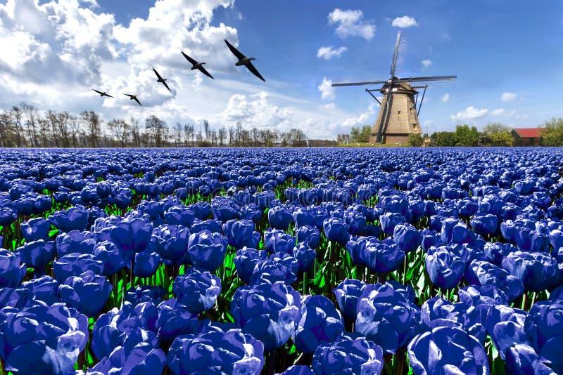 Ganzen die over eindeloos blauw tulpenlandbouwbedrijf vliegen stock afbeelding