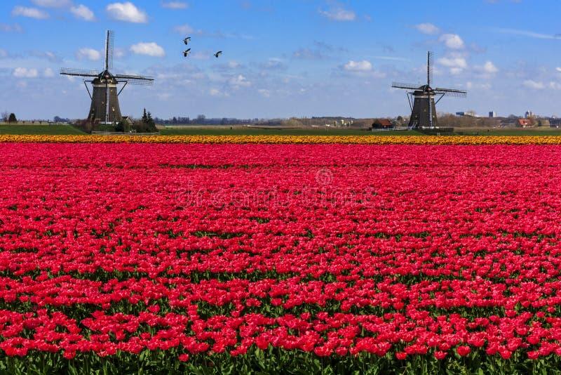 Ganzen die over eindeloos rood tulpenlandbouwbedrijf vliegen stock afbeelding