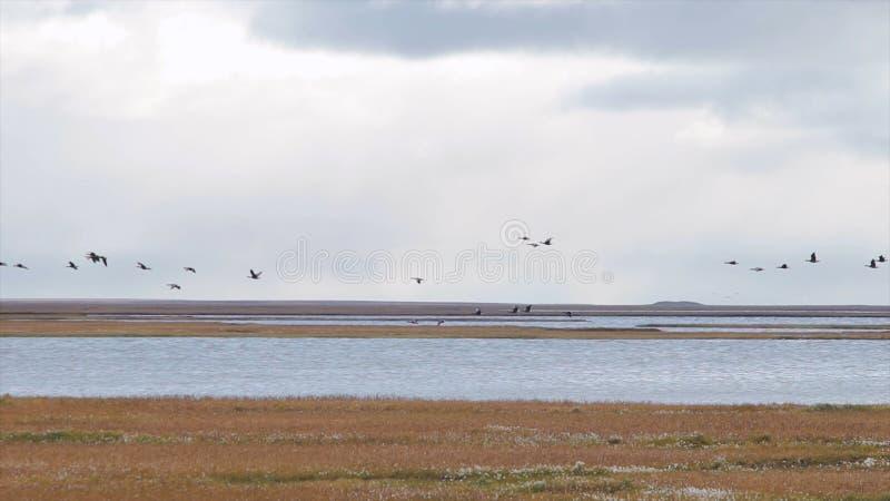 Ganzen die tijdens de vlucht van een groot gebied beginnen Vliegende troep van gemengde eenden video De wilde eenden vliegen hoog royalty-vrije stock afbeeldingen