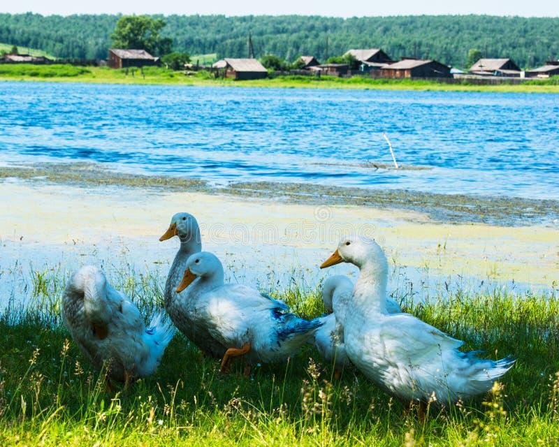 Ganzen in het gras Binnenlandse vogel Troep van ganzen Witte ganzen royalty-vrije stock foto