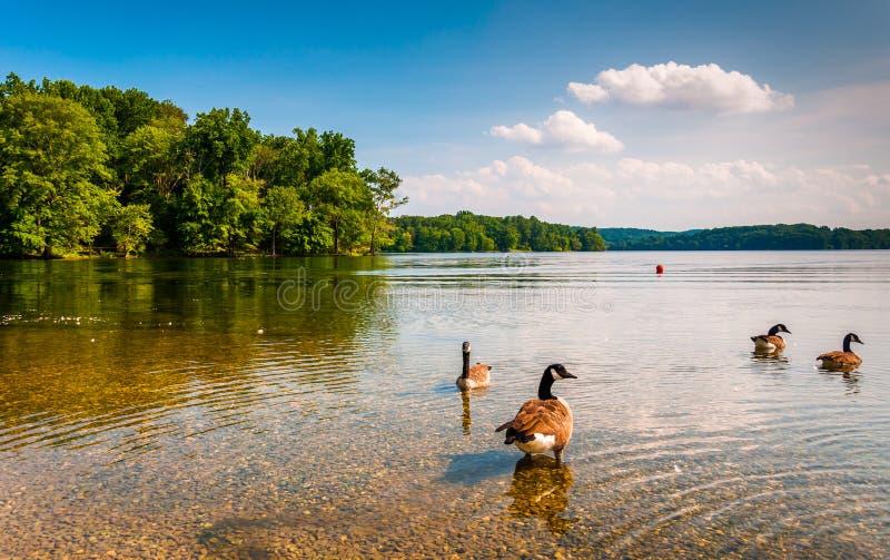 Ganzen in het water bij Loch Raven Reservoir, dichtbij Towson, Marylan royalty-vrije stock foto's