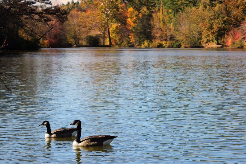 Ganzen in meer, Dalingsgebladerte stock foto's