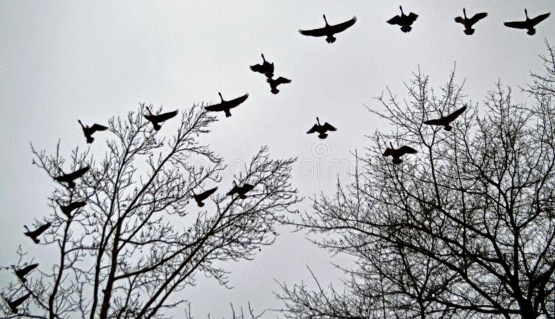 Ganzen op de Vleugel stock foto's