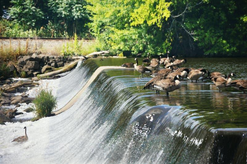 Ganzen op een Dam royalty-vrije stock foto's