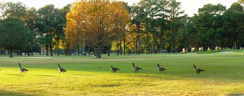 Ganzen op golfcursus stock fotografie