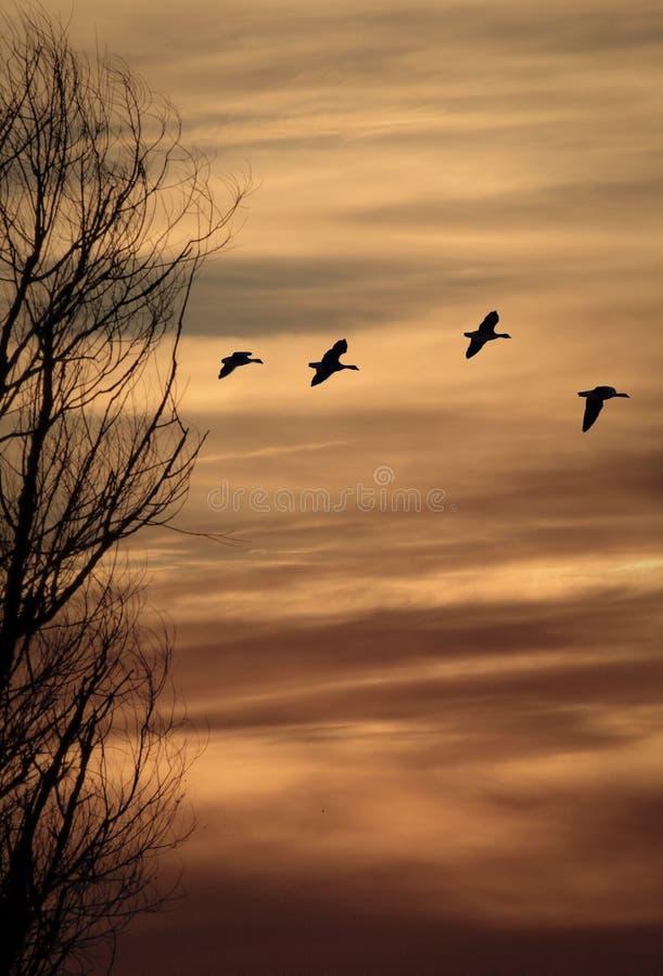 Ganzen tegen zonsondergang royalty-vrije stock foto's