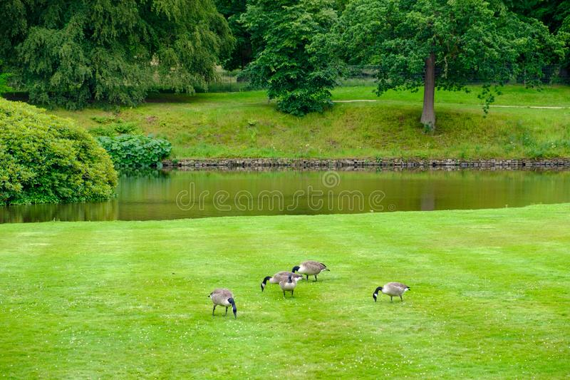 ganzenvoer op het gras van de tuinen van Lyme Hall, historisch Engels State Home and park in Cheshire, Verenigd Koninkrijk stock foto's