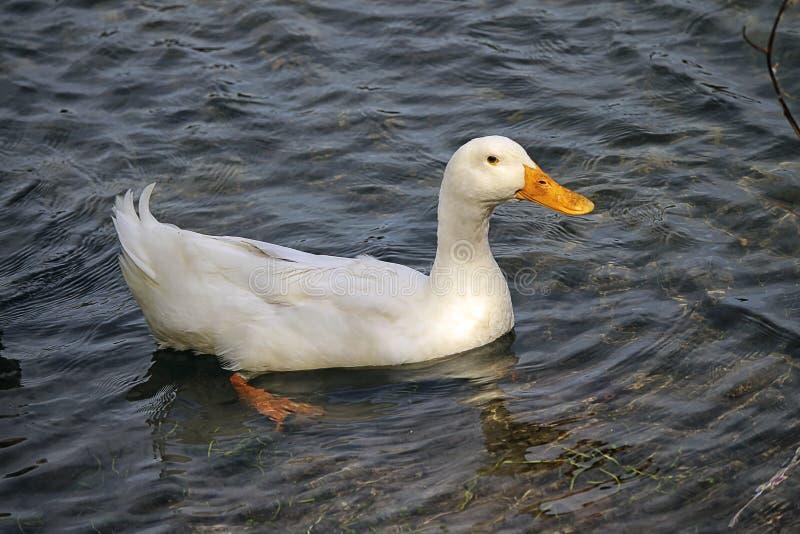 Ganzo плавая на береге озера стоковое фото