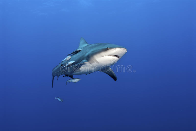 Gapende haai royalty-vrije stock foto