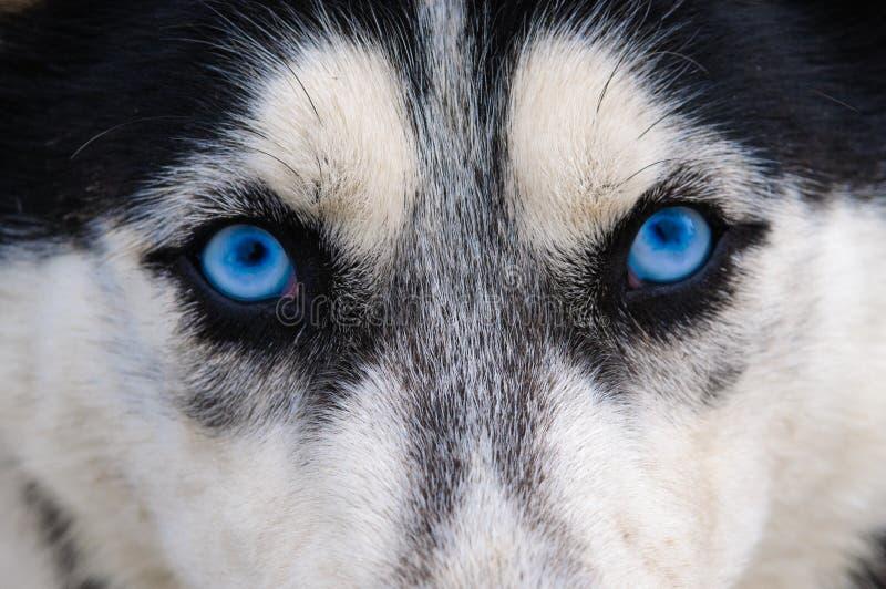 Gapić się i zli wilczy oczu niebieskie oczy obrazy royalty free