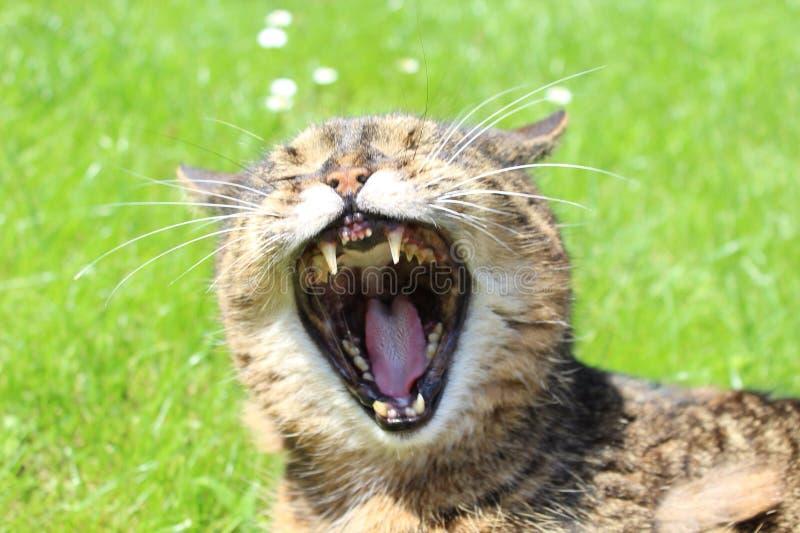Gaping кот стоковое изображение rf