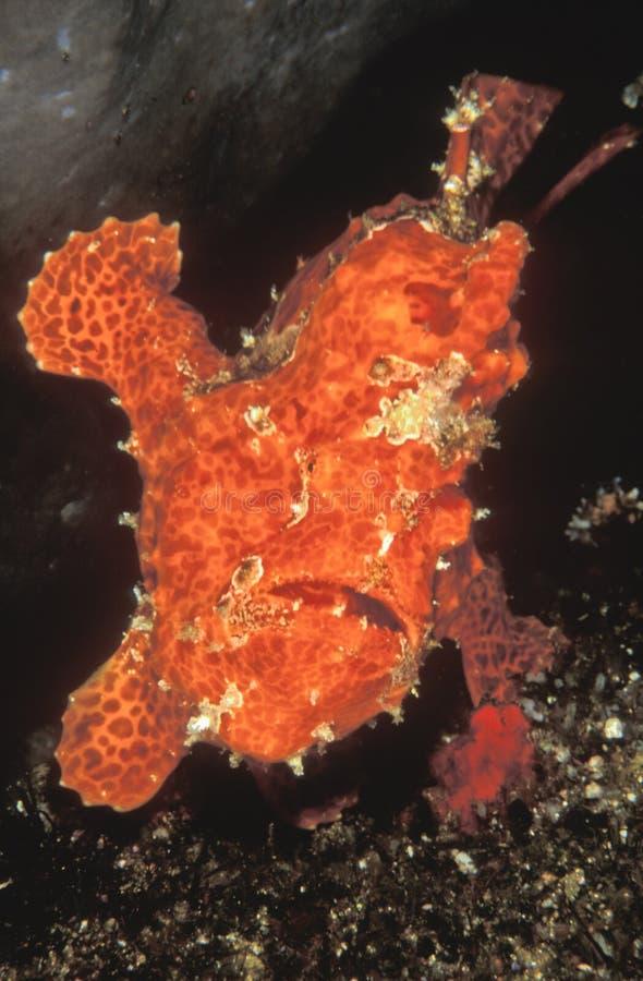 Gaping anglerfish стоковое изображение rf