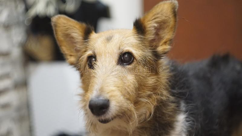 Gapiowski powabny pies z pięknymi oczami obraz royalty free