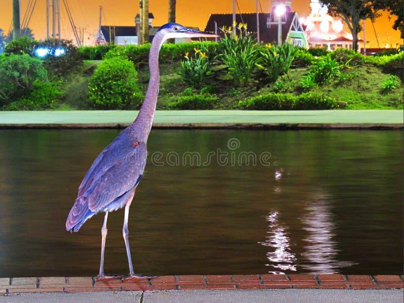 Garça-real azul no parque da lagoa do arco-íris, Long Beach CA foto de stock