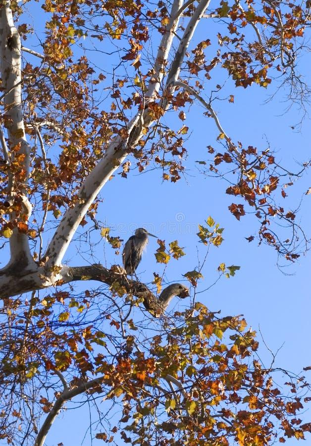 Garça-real azul que senta-se em uma filial de árvore fotografia de stock royalty free