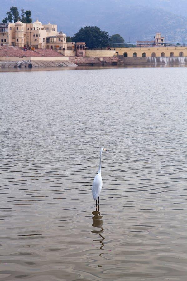 Garça-real branca, Egretta Garzetta no lago santamente Pushkar em Rajasthan, Índia fotos de stock