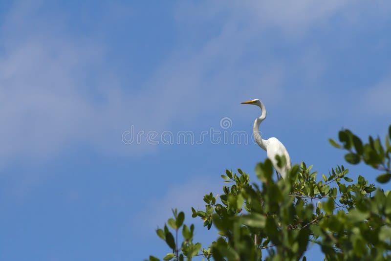 Garça-real branca elevada na árvore foto de stock royalty free