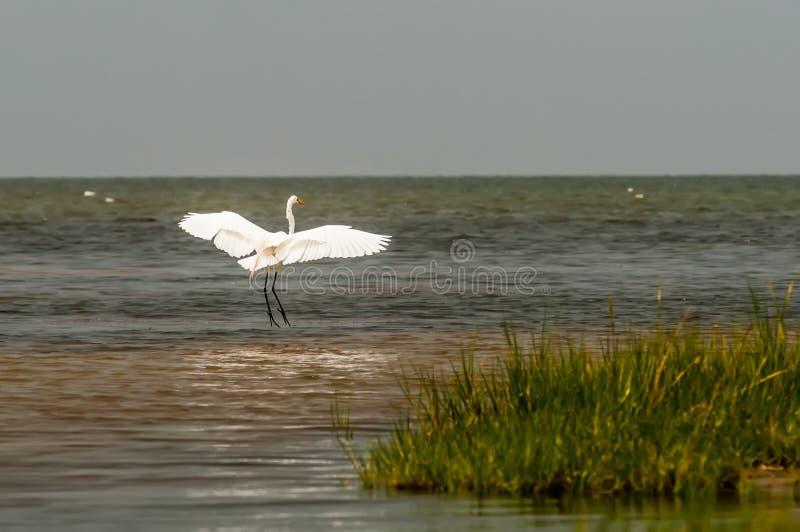 Garça-real branca pequena do garzetta do Egretta do Egret pequeno imagem de stock royalty free