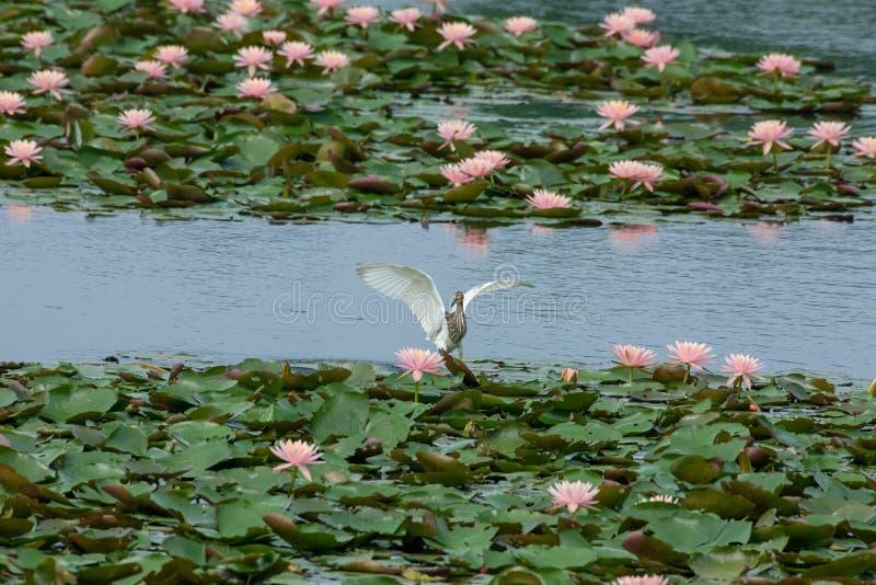 Garça-real chinesa da lagoa do pássaro raro do trânsito imagens de stock royalty free