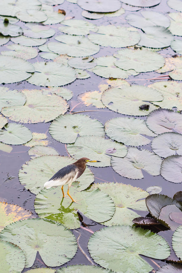 Garça-real chinesa da lagoa em Thale Noi fotografia de stock
