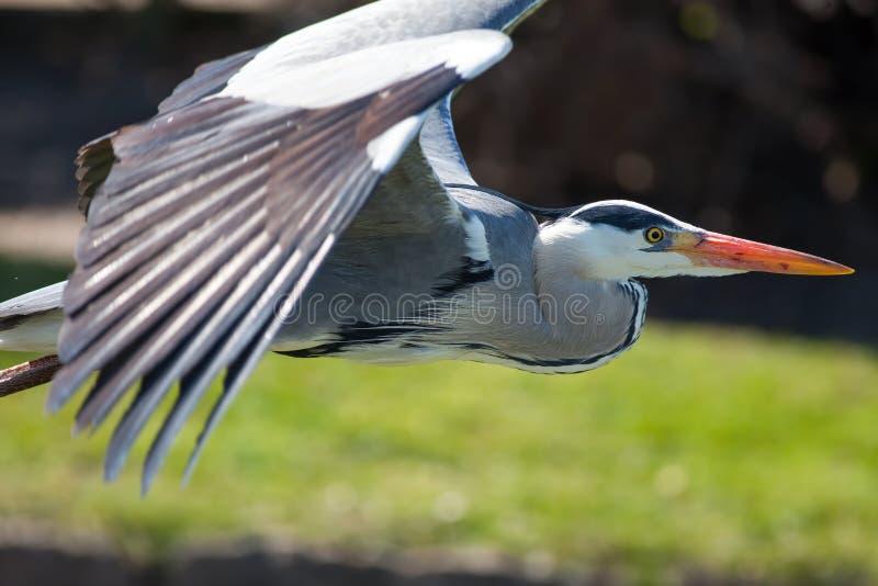 Garça-real cinzenta em vôo Voo selvagem bonito do pássaro vadeando no fim fotos de stock royalty free