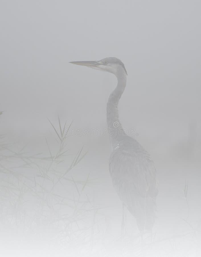 A garça-real cinzenta na névoa